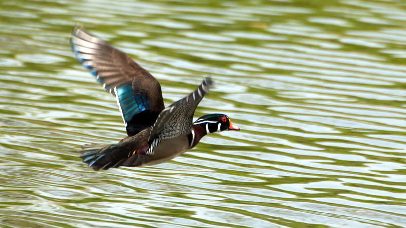 DT4416 Wood Duck Flight.jpg