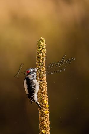 08600 Birds, woodpeckers