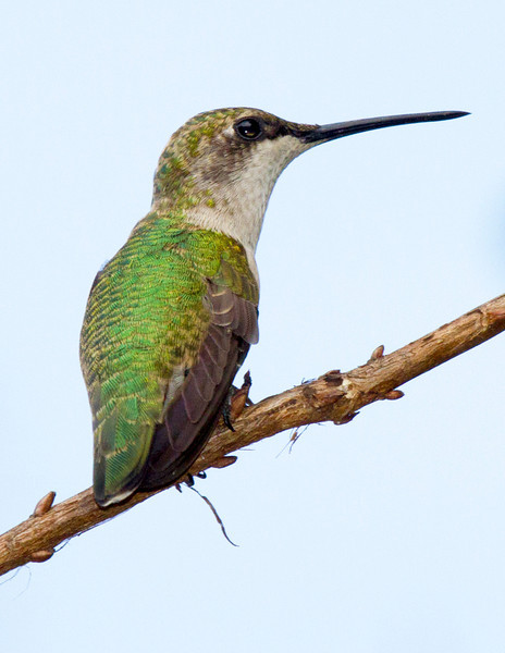 hummingbirdgreenonatwig1.jpg