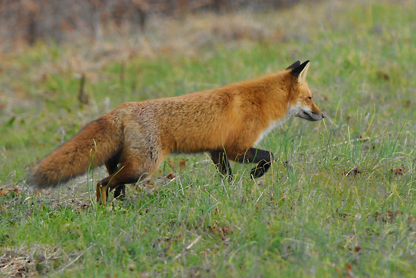 Bombay Hook, NWR Fox Pictures
