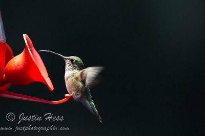 Hummingbird 8-26-2013