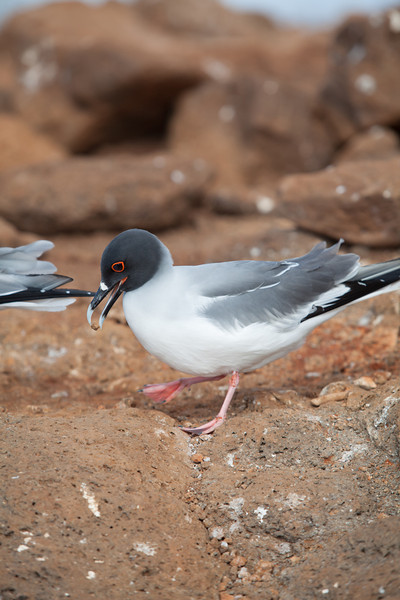 A swallow-tailed gull carrying a bit of rock.