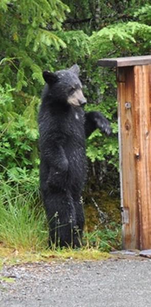 Bear COY crop 2015 july 11 two.JPG