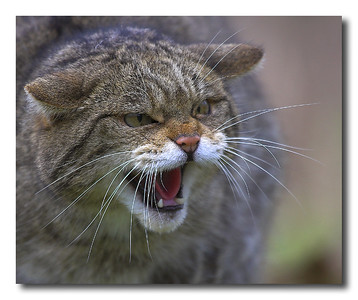 A scottish wildcat snarling