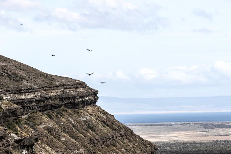 Condors in flight
