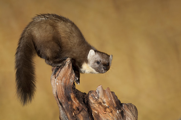 Wildlife Photography - Pine Marten