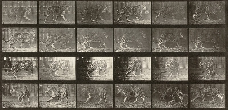 Jaguar walking then turning around (Animal Locomotion, 1887, plate 731)