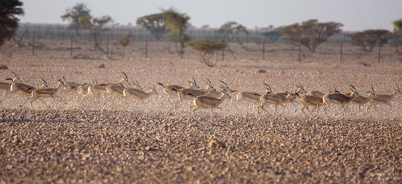 Gazelle (11).jpg