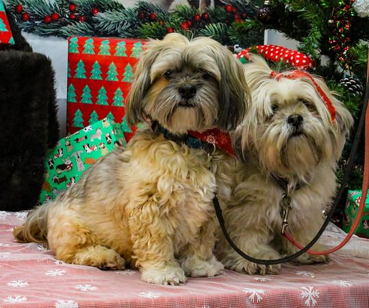 Lhasa Apso - Ty , Izzie &  Winslow