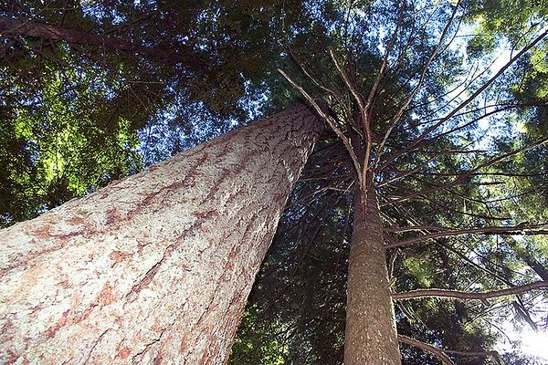 07- Travel to Ucluelet - Big Trees