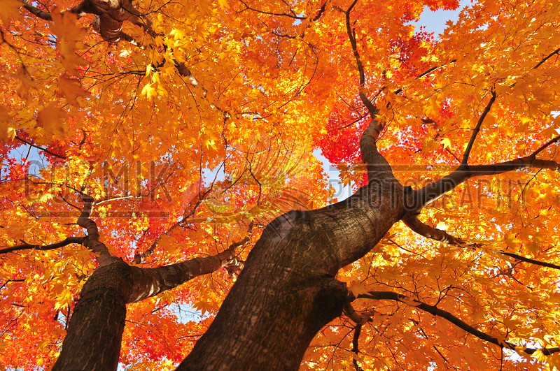 Fall Tree - 2011