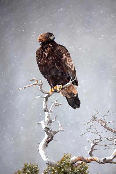 Golden Eagle 1.jpg