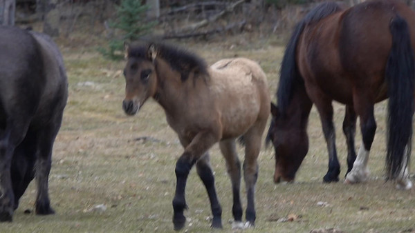 10-24-18 Alberta Wild Horses - Stallion Outcast Band