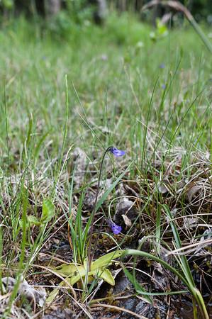 Lentibulariaceae Tätörtväxter