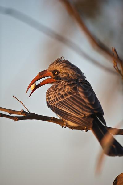 Bradfield's hornbill, Kwando Lagoon, Botswana