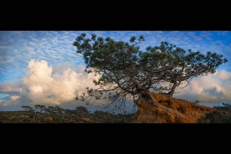 Torrey_Pines_Panoramic_Tree.jpg
