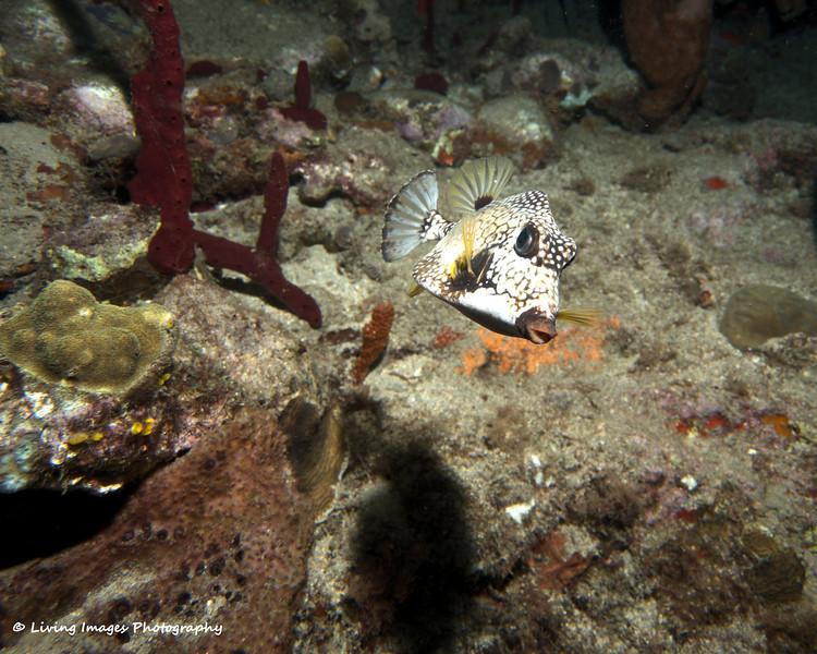 Dom Mar 2014 - Smooth Trunkfish 1.jpg