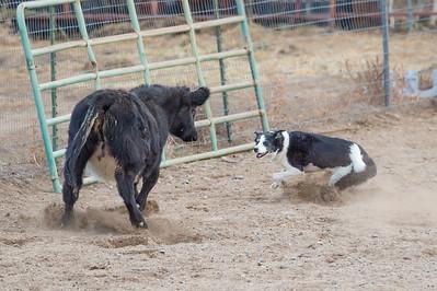 Cattle 3 - Advanced