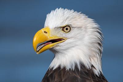 American Bald Eagles