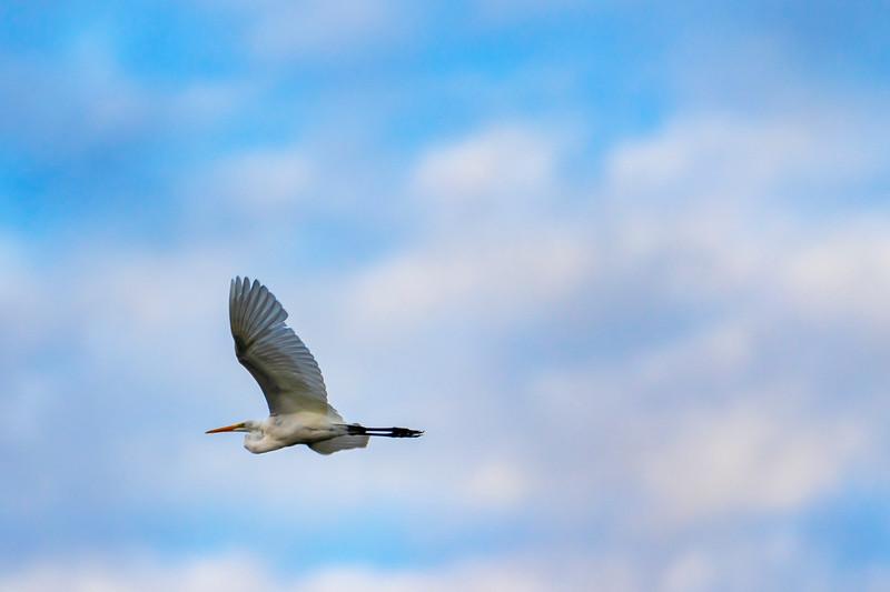 8.28.19 - Beaver Lake Nursery: Great Egret