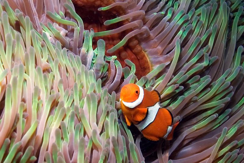 Clown Fish 1.jpg