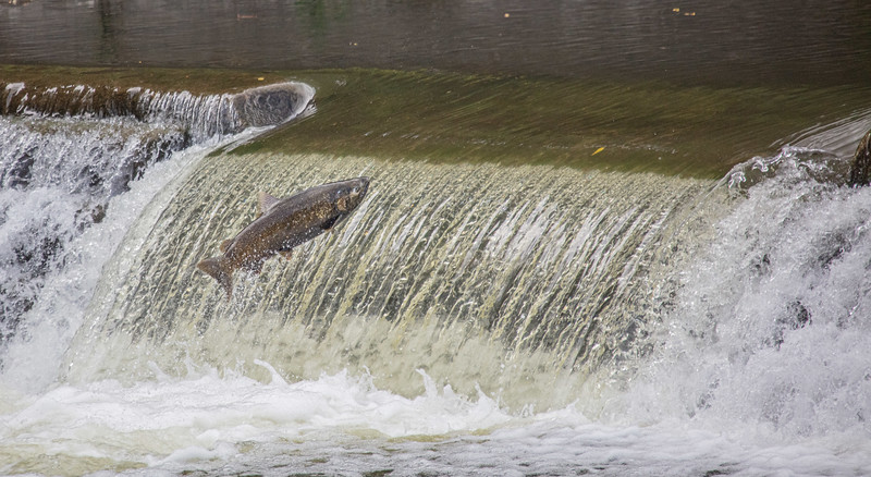 salmon upstream (3 of 48).jpg