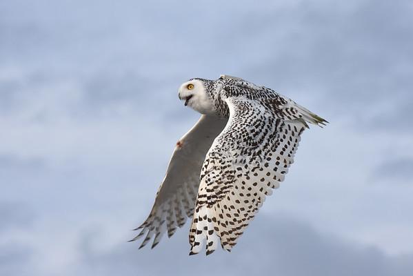 """""""Delaware"""" Snowy Owl Release"""