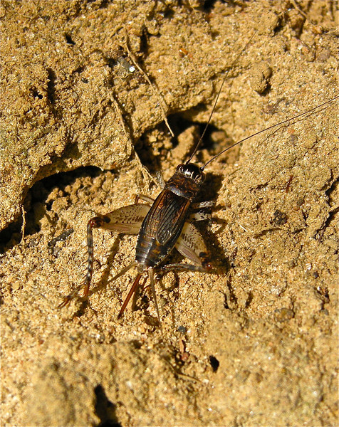 Cricket, exact species tbi