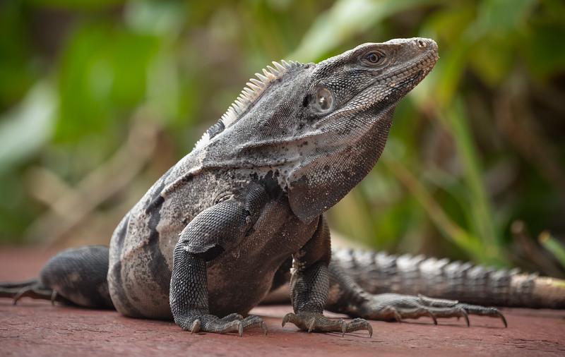 Gray iguana sitting on side walk