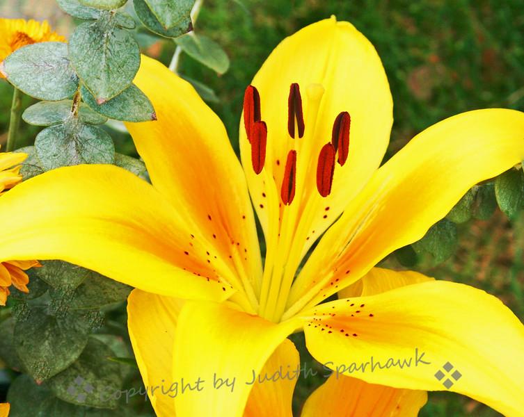 Sunshine Lily.jpg