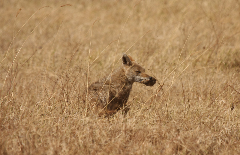 We watched this jackal catch, then quickly devour this mouse!