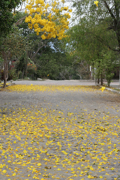 these trees are super yellow and they're all over.  chido!