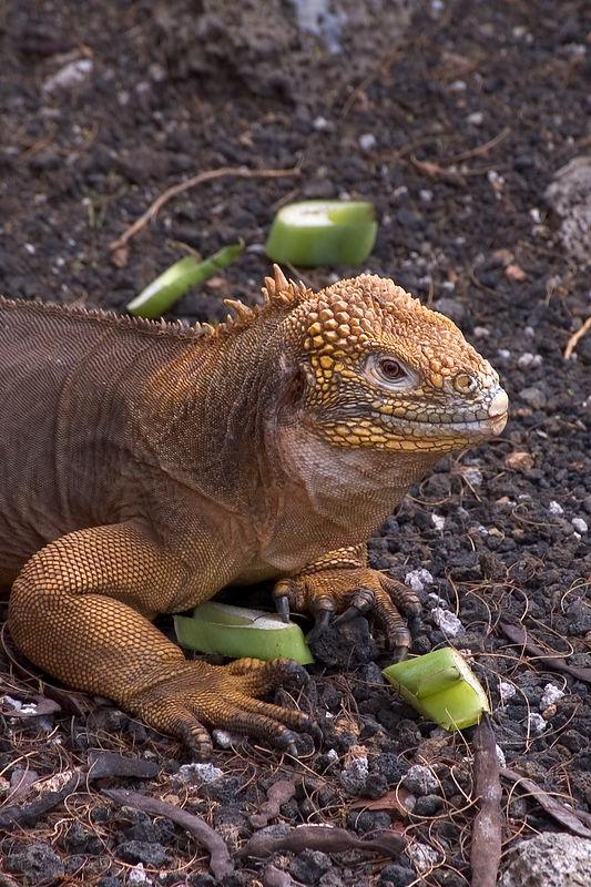 Land iguana front half   (Dec 09, 2005, 02:22pm)