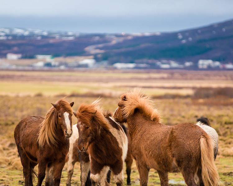Jessica-Yurinko-Photography-Icelandic-Horses-Winter.JPG