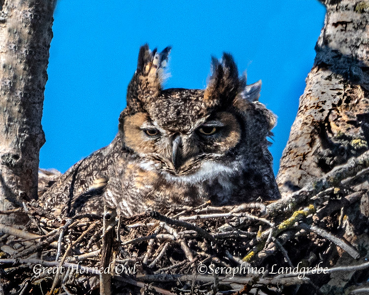 _DSC5255Greast Horned Owl b.jpg
