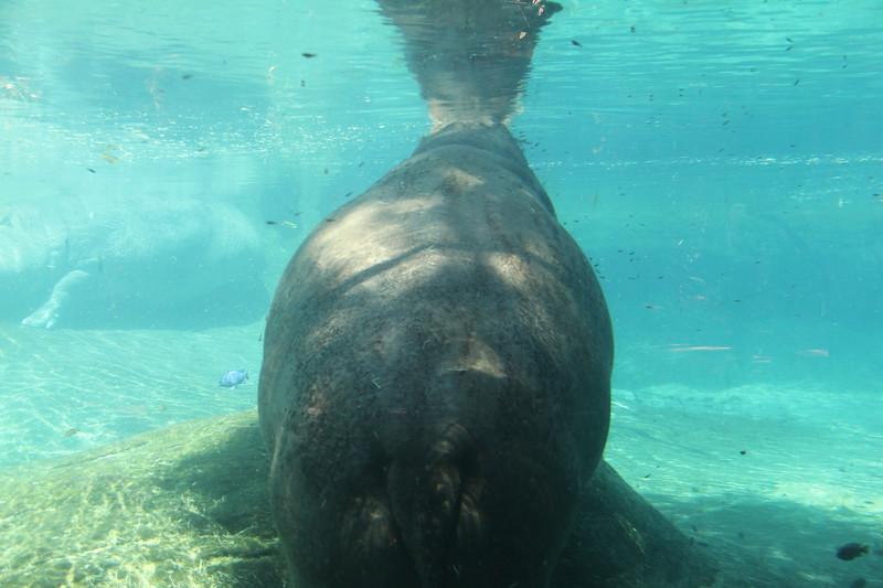 20170807-163 - San Diego Zoo - Hippo.JPG