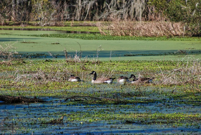 Canada geese in winter at the Audubon Swamp