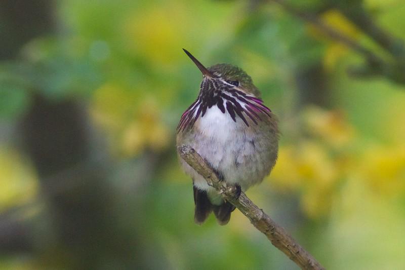 Calliope Hummingbird male Park Point Duluth MN IMG_1903.jpg