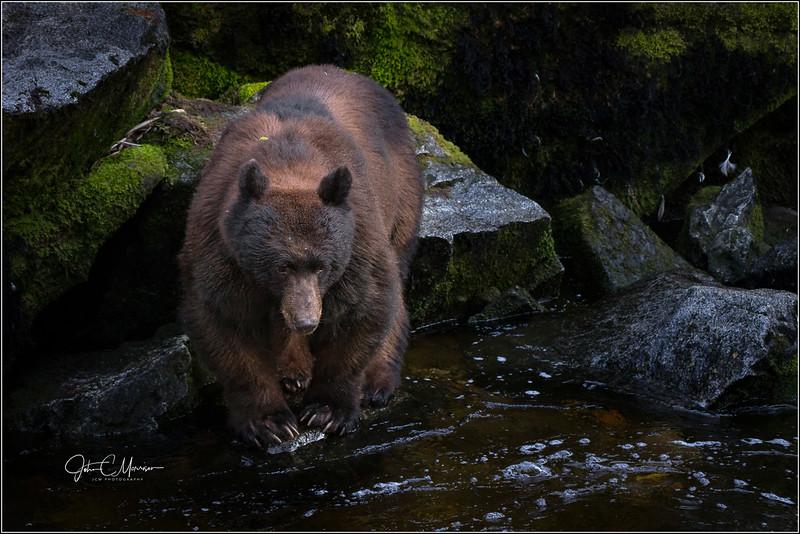 SR3_1409 Black Bear L W.jpg