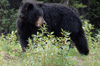 Black Bear-Stock Photo