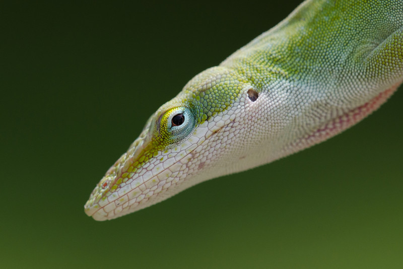 Anole #3
