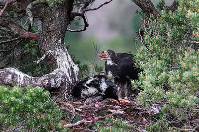 Golden Eagle Chick Feeding