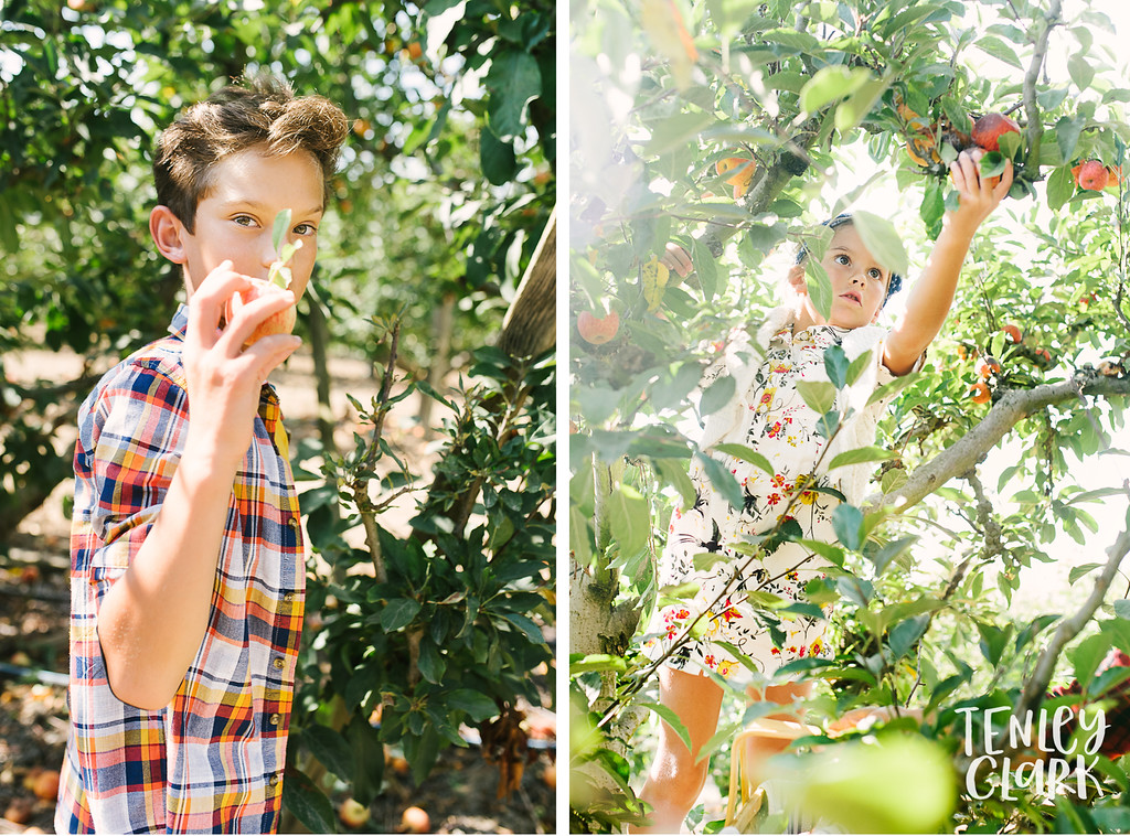 Lifestyle shoot of mom and kids apple picking in orchard by Tenley Clark Photography.