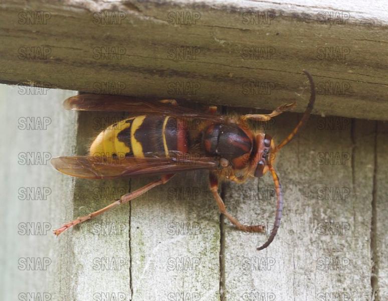 European Hornet; Giant Hornet (Vespa crabro).