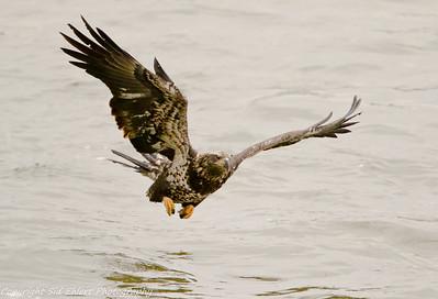 Conowingo Bald Eagles