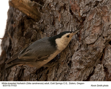 White-breasted Nuthatch A71153.jpg