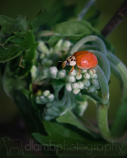 Someone Stole My Spots-Asian Ladybird Beetle