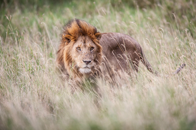 Male lions in high grass.<br /> All images are copyrighted. Do NOT use without permission.