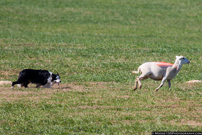 Rural Hill Sheep Dog Trials and Dog Festival - 2018