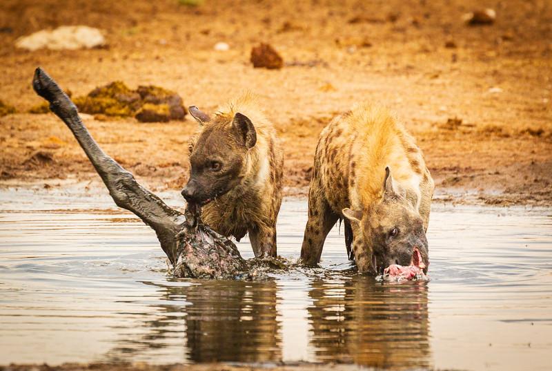 Hyaena feast 4